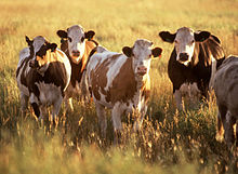Cattle user, used for auto-converting CSV -> druid